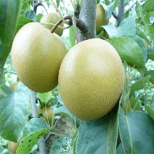早酥紅梨樹苗八月紅梨梨樹苗圖片