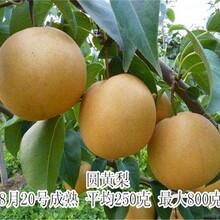 4公分秋月梨樹苗口感脆甜梨樹品種圖片
