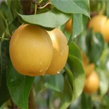 红皮红肉梨树苗梨树什么品种好梨苗新品种图片