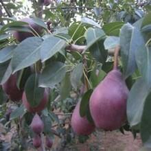 黑皮黑肉梨树苗梨树幼苗种植管理海南花梨苗图片