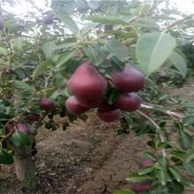 黑皮黑肉梨树苗梨树什么品种好晚秋黄梨苗木图片