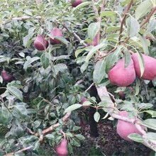 4公分香紅梨樹苗栽培技術整形修剪圖片