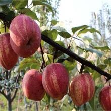 5公分黄金梨树苗基地直供晚秋黄梨苗木图片