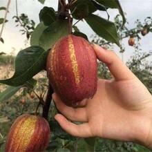 山东梨树苗口感脆甜梨树品种红皮梨苗图片