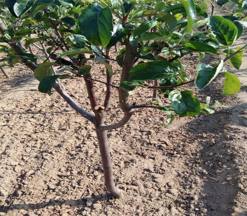 維納斯黃金蘋果苗栽培及管理技術矮化蘋果苗貴州