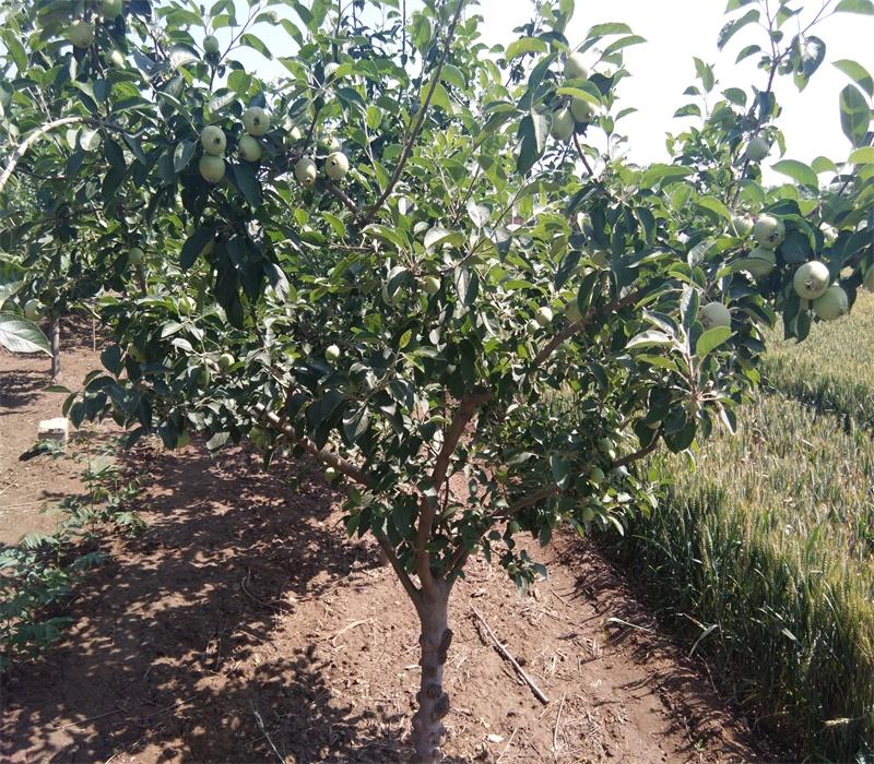 3公分鸡心果苗苹果树幼苗的种植技术苹果苗批发陕西
