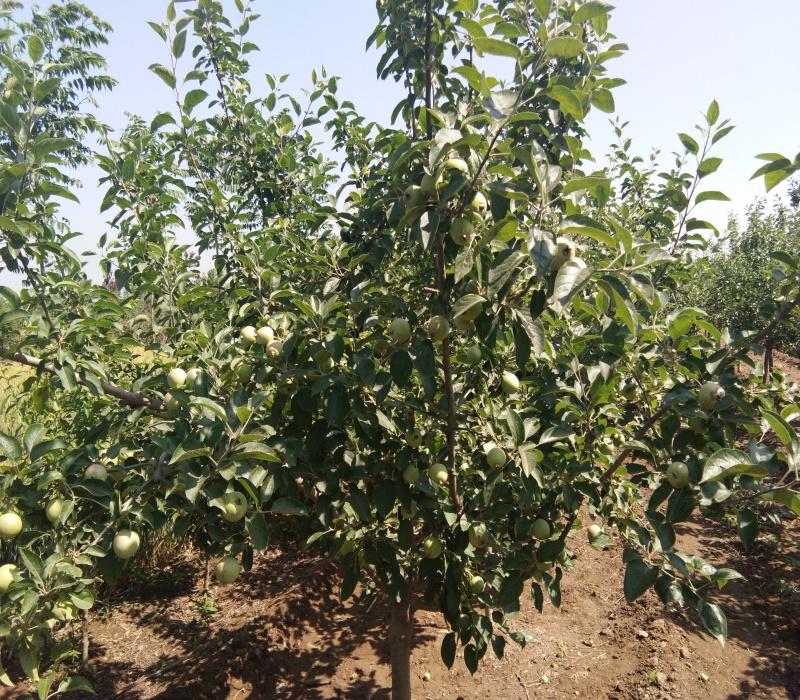 維納斯黃金蘋果苗蘋果苗品種介紹矮化蘋果苗價格福建