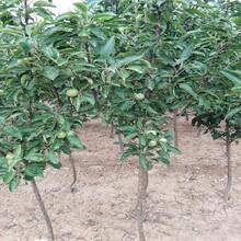 3ub8优游注册专业评级网分鸡心果苗栽培种植技术苹果苗新品种基地甘肃图片