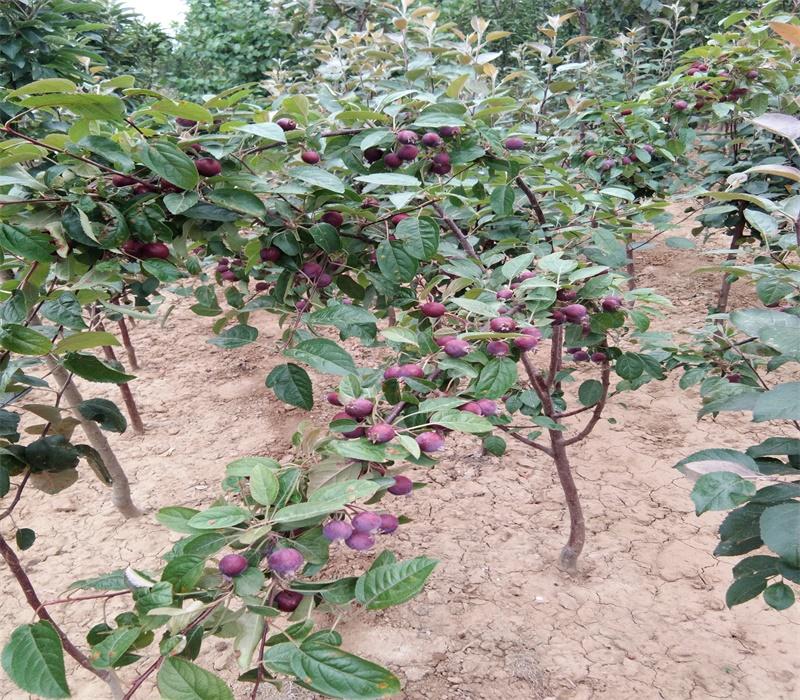 3公分黑蘋果苗中晚熟蘋果品種矮化蘋果苗價格山西