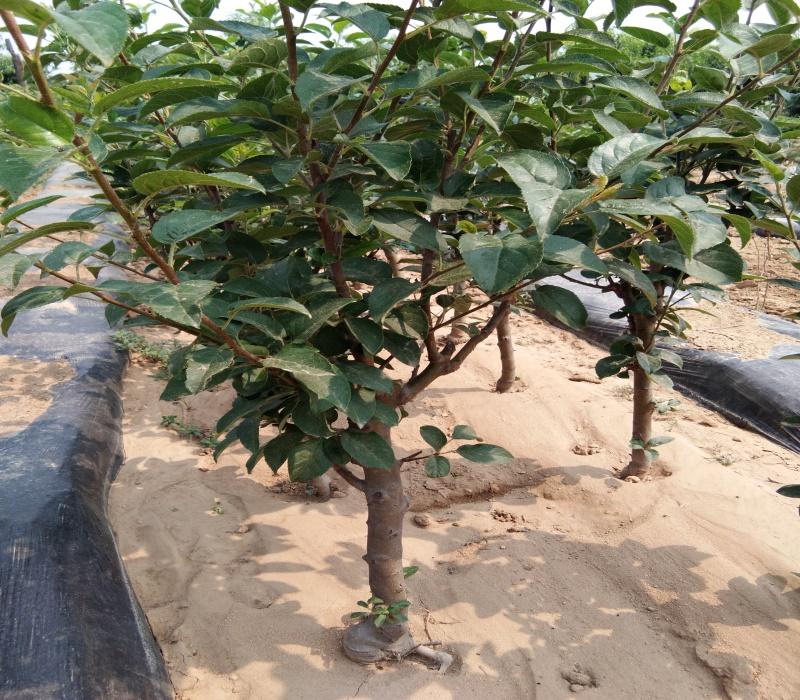3公分瑞陽蘋果苗栽培種植技術蘋果苗批發江西