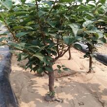3ub8优游注册专业评级网分黑苹果苗栽培及管理技术苹果苗价格湖北图片