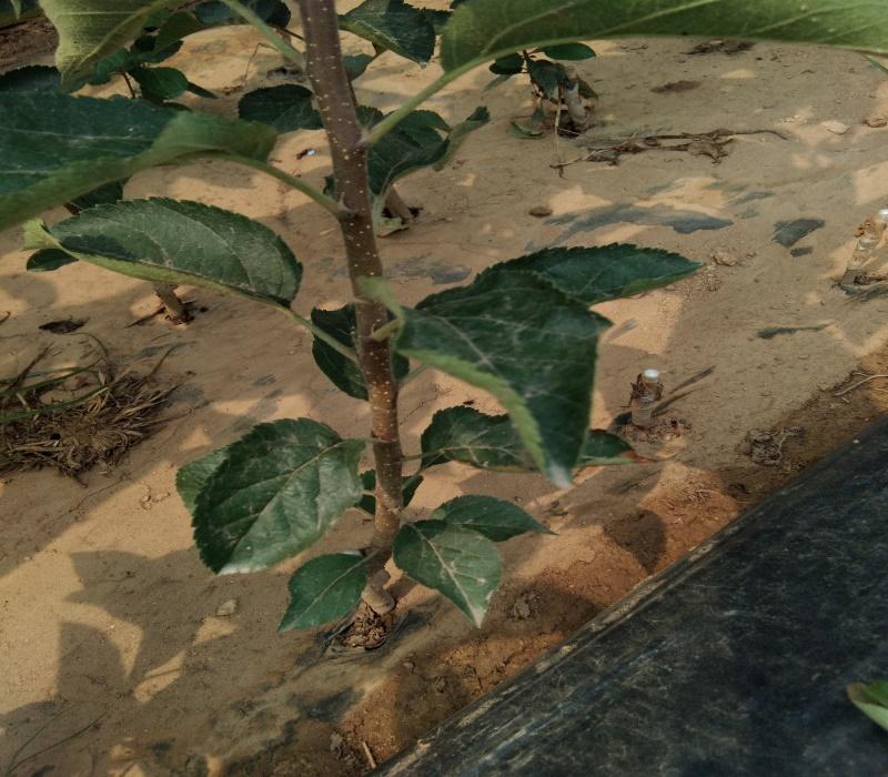 3公分黑蘋果苗正確的種植方法蘋果苗新品種公司山西