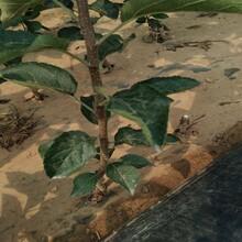 维纳斯黄金苹果苗苹果树幼苗的种植技术苹果苗价格山东图片