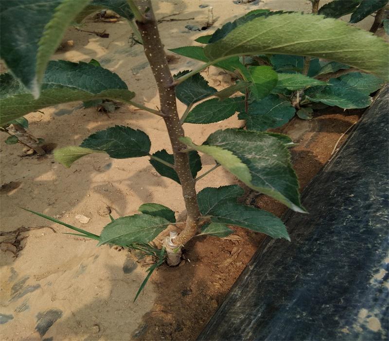 3公分中秋王蘋果苗正確的種植方法矮化蘋果苗價格西藏