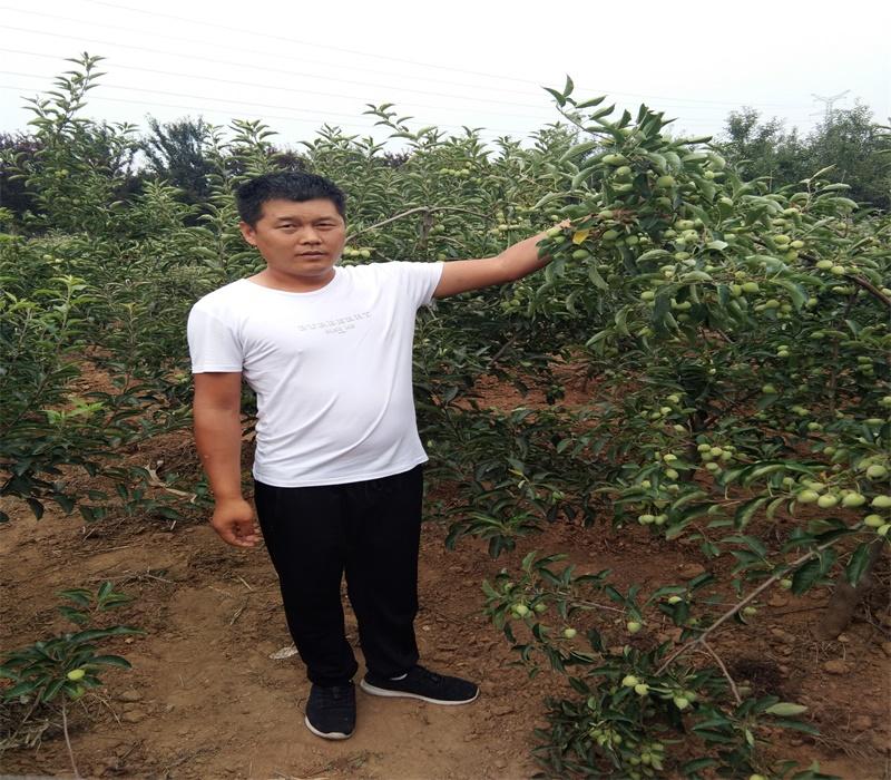 3公分中秋王蘋果苗栽培種植技術矮化蘋果苗價格上海