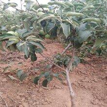 5公分瑞阳苹果苗苹果苗新品种基地繁育基地种植合做社图片