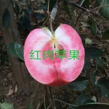 3ub8优游注册专业评级网分蓝宝石苹果苗栽培种植技术苹果苗价格云南图片