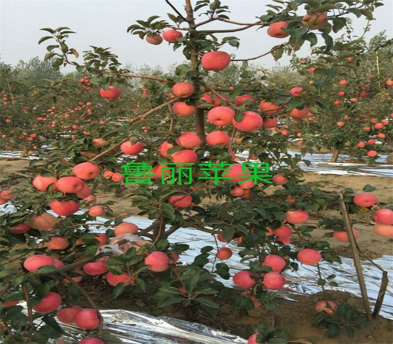 3公分雞心果苗正確的種植方法蘋果苗新品種公司內蒙古