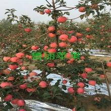 3ub8优游注册专业评级网分蓝宝石苹果苗苹果苗什么品种ub8优游注册专业评级网苹果苗新品种基地福建图片