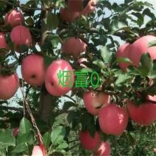 维纳斯黄金苹果苗早熟苹果品种矮化苹果苗价格ub8优游注册专业评级网图片