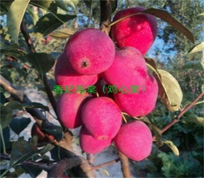 3公分雞心果苗早熟蘋果品種紅心蘋果苗廣東