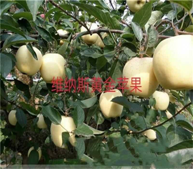 3公分藍寶石蘋果苗中晚熟蘋果品種蘋果苗價格江西