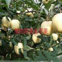 3ub8优游注册专业评级网分瑞阳苹果苗早熟苹果品种苹果苗价格青海图片