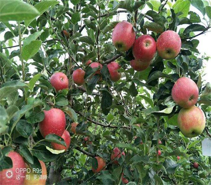 3公分中秋王蘋果苗早熟蘋果品種矮化蘋果苗貴州