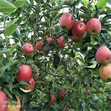 5公分花牛苹果苗红肉苹果苗价格繁育基地种植合做社图片
