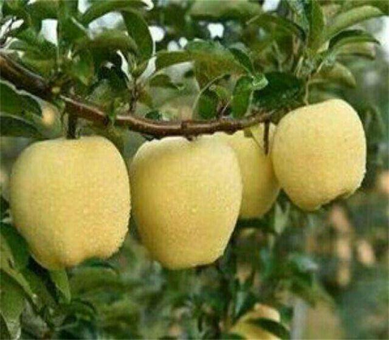 3公分瑞陽蘋果苗正確的種植方法矮化蘋果苗價格吉林