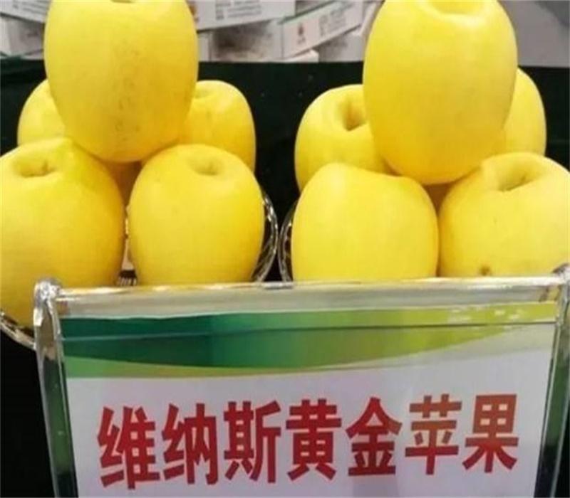 3公分華碩蘋果苗中晚熟蘋果品種矮化蘋果苗陜西