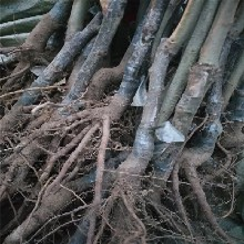 板栗苗的品種介紹的選購技巧圖片