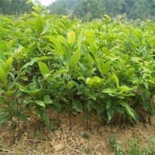 板栗苗板栗苗批发价格板栗树几年结果图片
