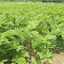 泰山薄殼板栗苗保證成活率的種類大量供應圖片