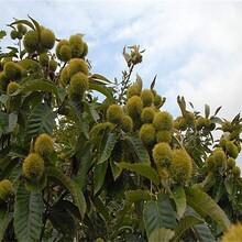 大紅袍板栗苗種植方法種植技術各大區均能種植圖片