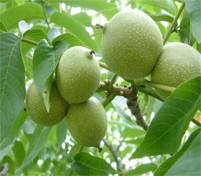 徐州冠核一號核桃樹苗泰安有核桃樹出售核桃樹管理簡單吧