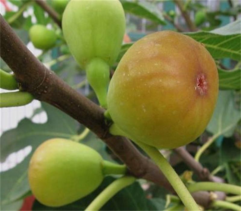 四川成都红矮生无花果树苗斯特拉无花果苗南方种植品种