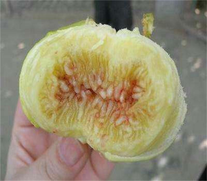 河南鄢陵2公分无花果树苗无花果苗买几年苗好无花果苗批发价格