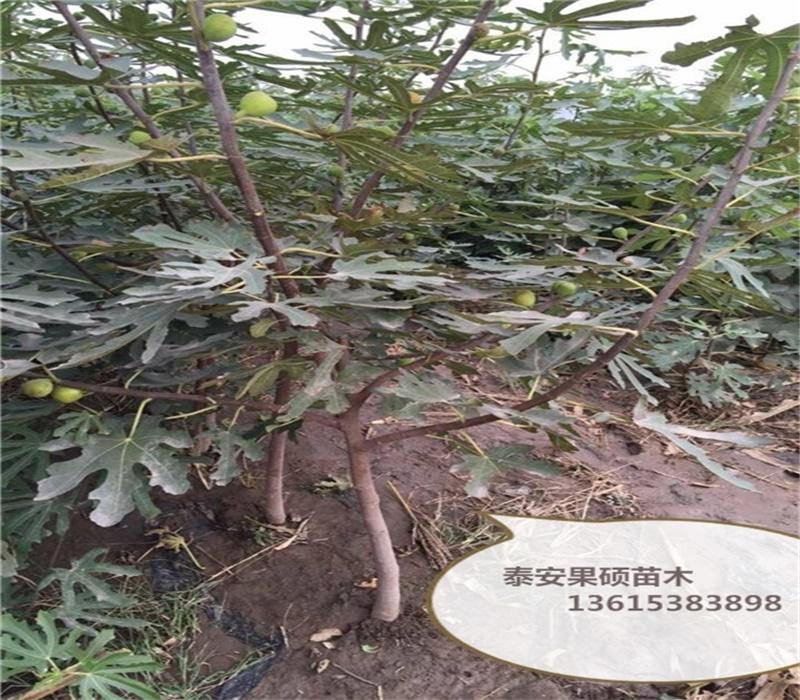 河南濮阳2公分金傲芬无花果苗怎样种植无花果品种齐全