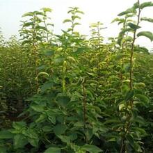 6公分蜂糖李樹苗形態特征一畝地的投資圖片