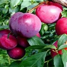銀妃三華李李子苗正確的種植量高產量品種介紹圖片