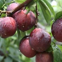 6公分黃金奈李樹苗正確的種植量高產量耐寒耐鹽堿性果皮顏色圖片