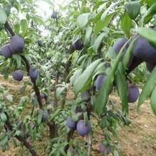 3公分五月脆李子苗種植發展好的原因分析品種介紹圖片