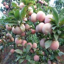 三華李李子樹苗國家優質品種樹口感最好的品種圖片