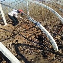 6公分玫瑰皇后李樹苗國家優質品種樹李子苗品種大全圖片