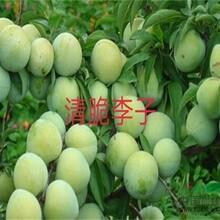 6公分脆紅李樹苗一年苗修剪方法口感最好的品種圖片