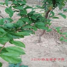 三華李李子樹苗國家優質品種樹耐寒耐鹽堿性果皮顏色圖片