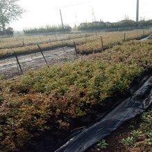 5年公爵藍莓苗抗寒抗晚霜圖片