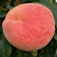 5公分金蟠10-15桃樹苗專業種植使命必達圖片