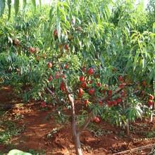 5公分金蟠10-15桃樹苗繁育基地買家實在圖片